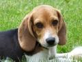 Cachorro de Beagle