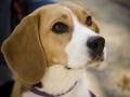 Raza Beagle - 2