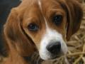 Raza Beagle - 3