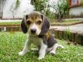 Cachorro de Beagle - 2