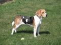 Raza Beagle - 4