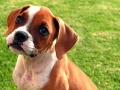 Cachorro de la raza Bóxer