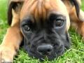 Cachorro Bóxer