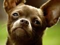 Chihuahua - 2