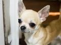 Chihuahua - 4