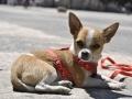 Chihuahua - 5