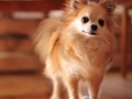 Chihuahua - 6