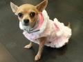 Nana, la Chihuahua más cariñosa del mundo