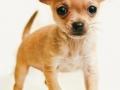 Cachorro de Chihuahua