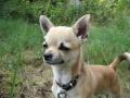 Chihuahua - 7