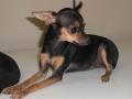 Chihuahua de pelo Negro