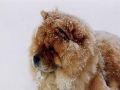 Chow Chow en la nieve
