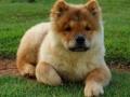 Foto de un chow chow cachorro