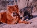 Chow Chow y un gato