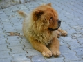 Chow Chow Anciano