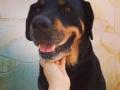Dalila-la Rottweiler-2