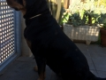Dalila-la Rottweiler-4