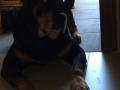 Dalila-la Rottweiler-7