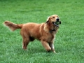 Golden Retriever corriendo