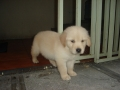 Cachorrillo de Golden Retriever