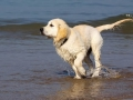 Golden Retriever - 2