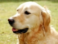 Golden Retriever - 1