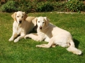 Pareja de Golden Retriever