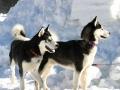 Husky Siberiano - 8