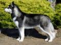 Husky Siberiano - 7