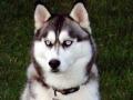Husky Siberiano - 5
