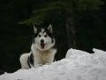 Husky Siberiano - 3