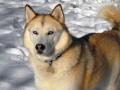 Husky Siberiano Rojo