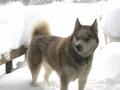 Husky Siberiano - 1