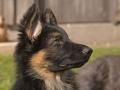 Cachorro de Pastor Alemán - 2