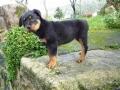 Rottweiler - Cachorro