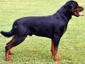 Rottweiler - 9