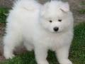Cachorro Samoyedo