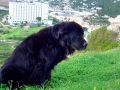 Raza de perro Terranova - 6