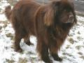 Raza de perro Terranova - 3