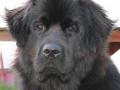 Raza de perro Terranova - 2