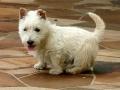 Cachorro de Terrier Escocés blanco