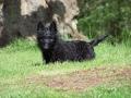 Cachorro de Terrier Escocés negro
