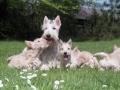Familia de Terrier Escocés