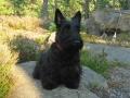 Terrier Escocés - Scottish Terrier