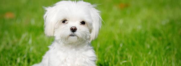 Bichón Maltés - Razas de Perros