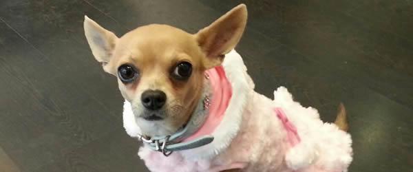 Raza Chihuahua