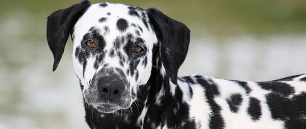 Raza de perro Dálmata