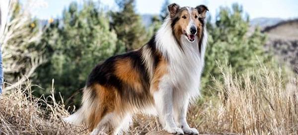 Lassie, de la raza Collie, uno de los perro de cine más famosos