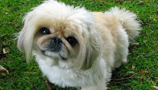 Raza de perro Pekinés