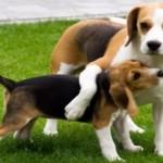 Vídeo de un Beagle recibiendo el mejor regalo de cumpleaños